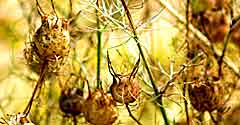 Seed Pods Essences and Wellbeing to Bring forth your Potential
