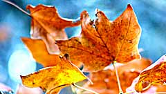 autumn leaves wellbeing essences by releasing and letting go